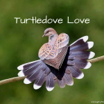 Turtledove Love