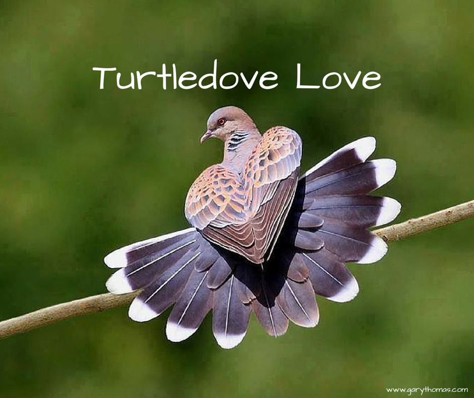 Turtledove Love