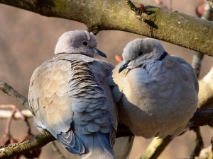 turtledove pair
